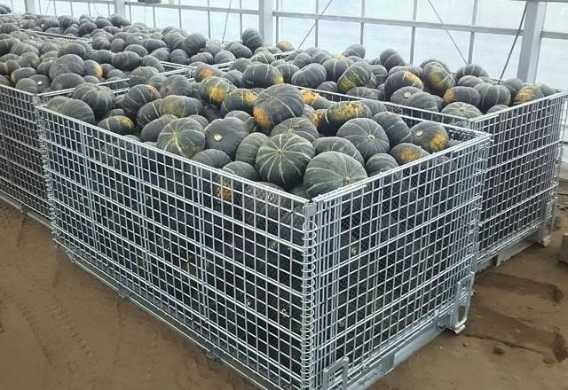 収穫したかぼちゃをメッシュタイプ鉄コンテナに収容します。南瓜を鉄コンテナに投入するには手作業となるので背の低いタイプを利用しています。