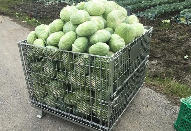 キャベツ収穫/ メッシュタイプ鉄コンテナ使用。1200サイズ。