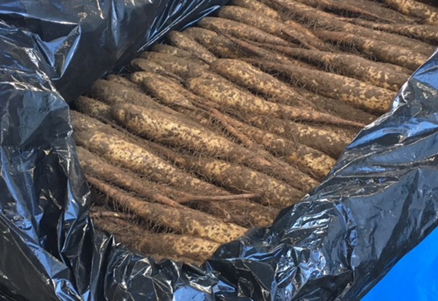 長芋の収穫貯蔵 メッシュタイプ鉄コンテナ