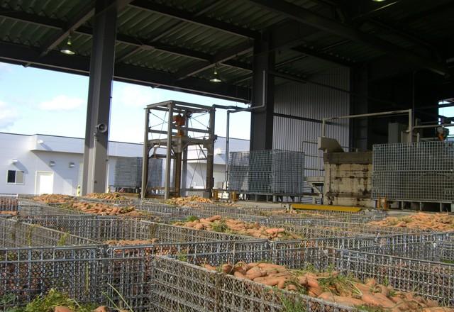 鉄コンテナ用ハーベスターで収穫した人参。選果場にて。