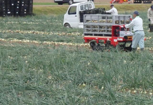 玉葱の収穫。鉄コンテナに入った玉ねぎをこのまま乾燥へ。