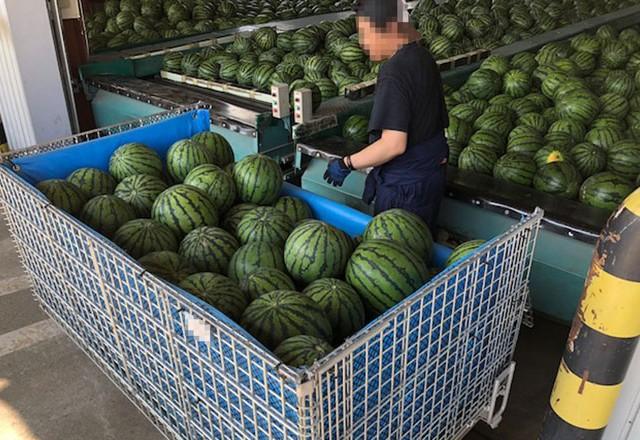 収穫した西瓜をメッシュ鉄コンテナで農協の選果場に集荷