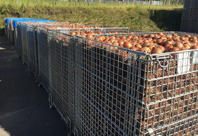 収穫した玉ねぎをメッシュ鉄コンテナに入れて天日乾燥