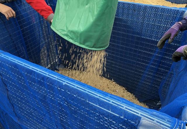 コンバインでの大豆収穫 鉄コンテナ利用