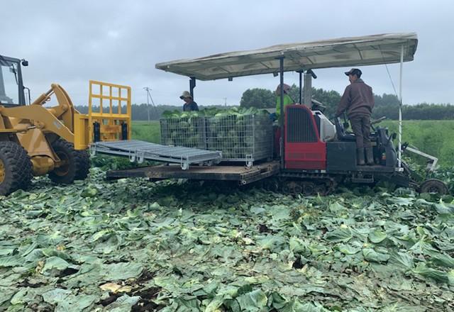 キャベツ機械収穫 鉄コンテナ利用