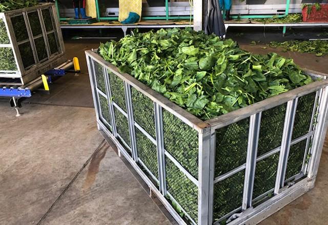 加工業務用ほうれん草|機械収穫した加工用ほうれん草を鉄コンテナで収穫輸送