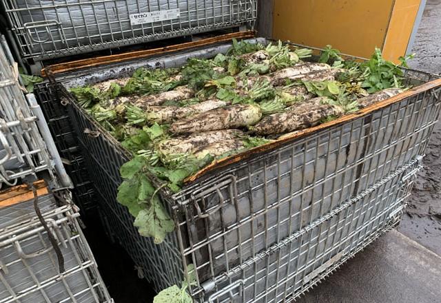 大根の収穫 メッシュコンテナボックス