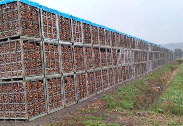 玉ねぎ収穫 | スチールコンテナS-10を使用