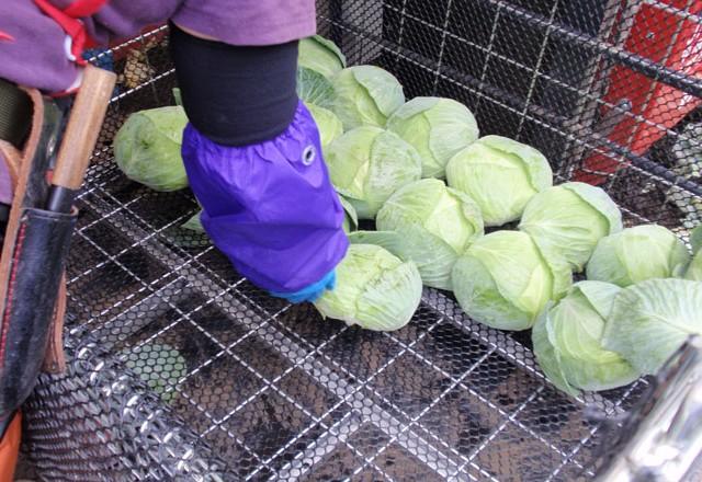 キャベツの収穫 | メッシュコンテナボックス